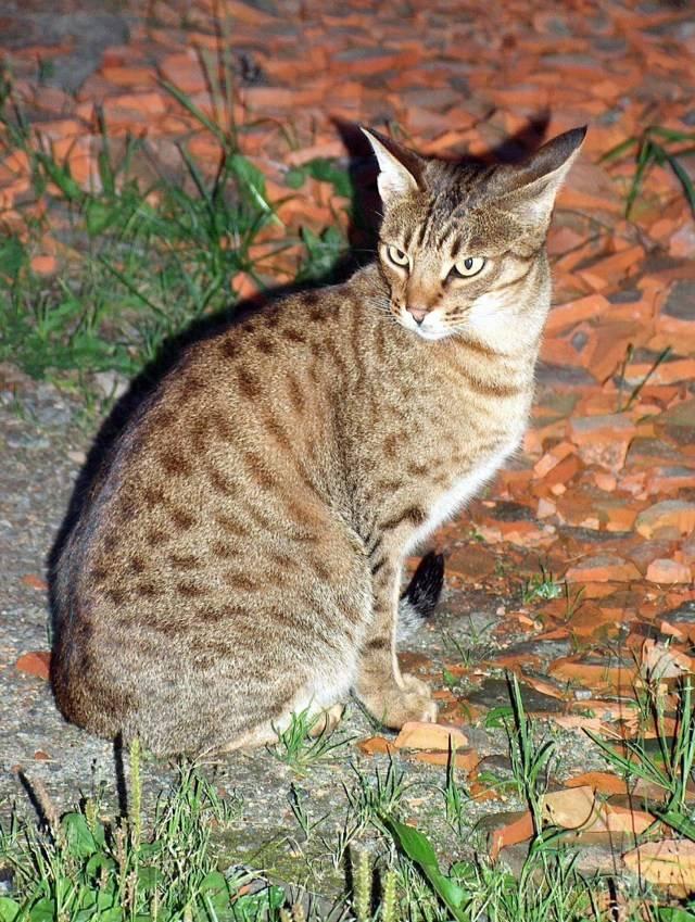 Порода кошек оцикет: история, описание, питание, фото