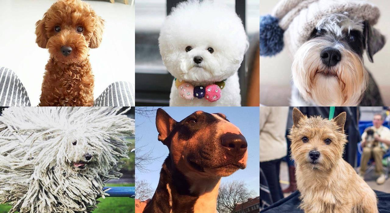 Гипоаллергенные собаки: список пород с фотографиями и названиями