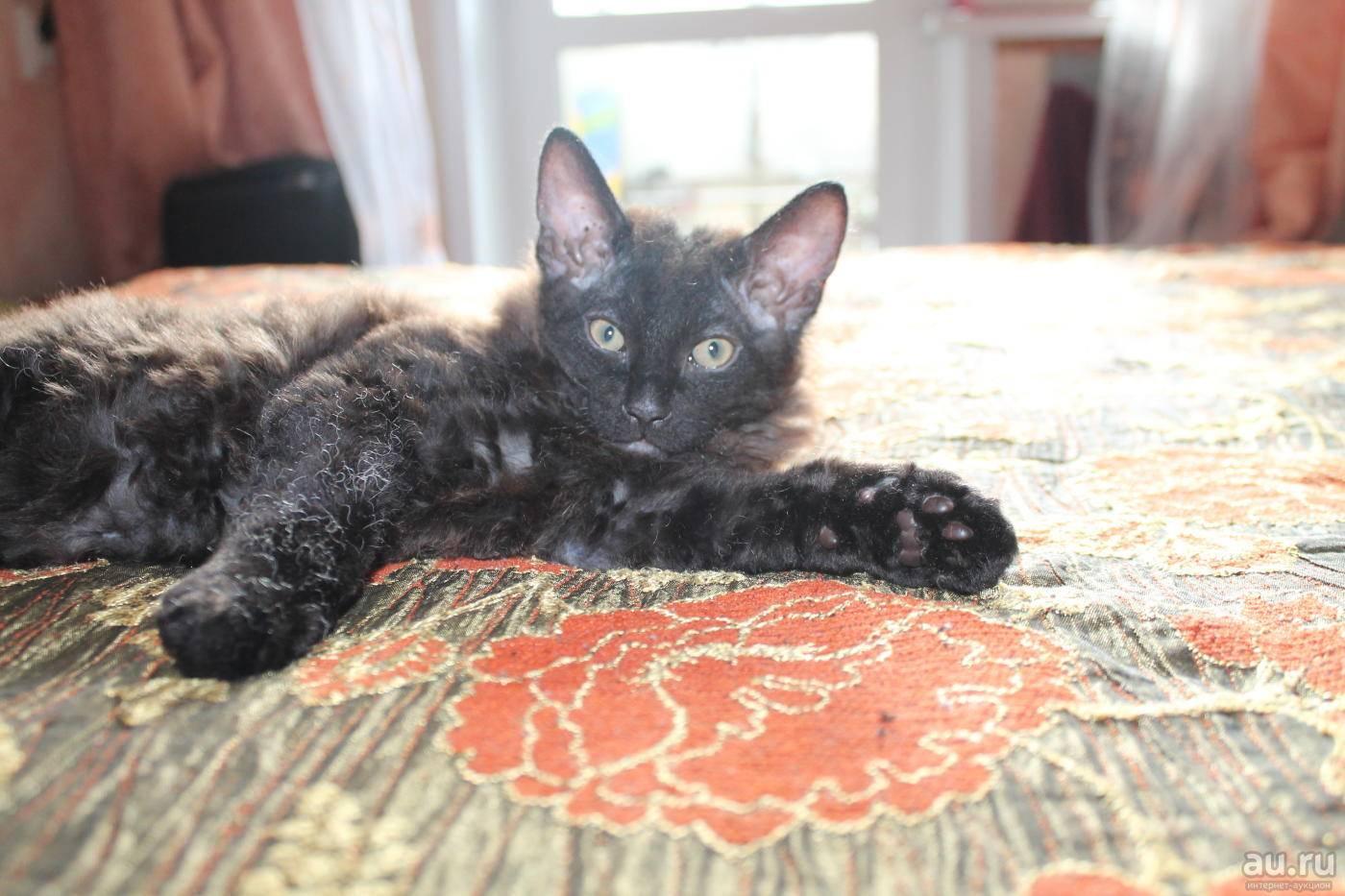 Примеры пород метисов кошки: смесь финкса и обычной, британской и другие примеры