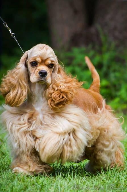 Английский кокер-спаниель: описание породы, характер собаки и щенка, фото, цена