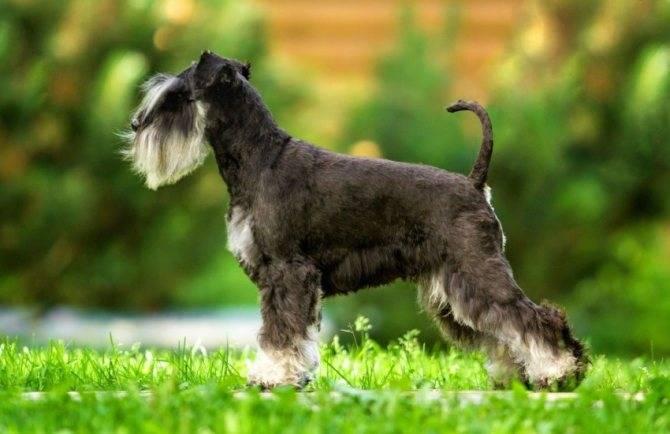 Порода собак ризеншнауцер: описание породы, фото