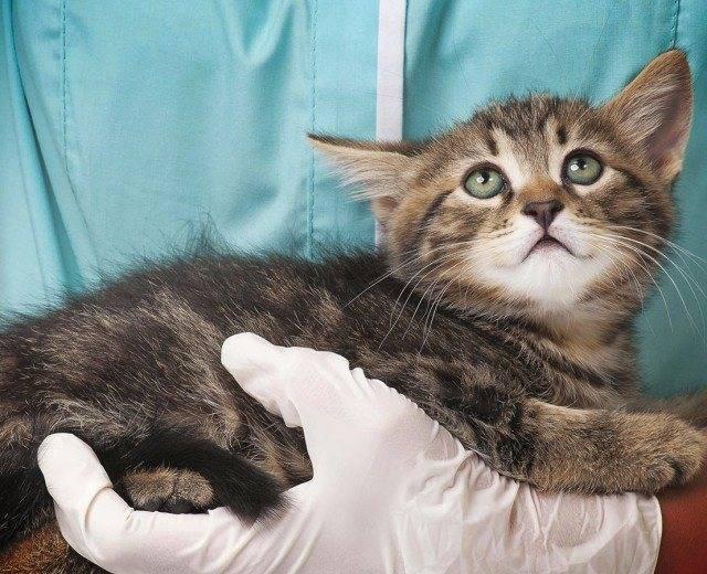 Иммунодефицит кошек. симптомы, диагностика, лечение fiv у кошек | ветпрактика