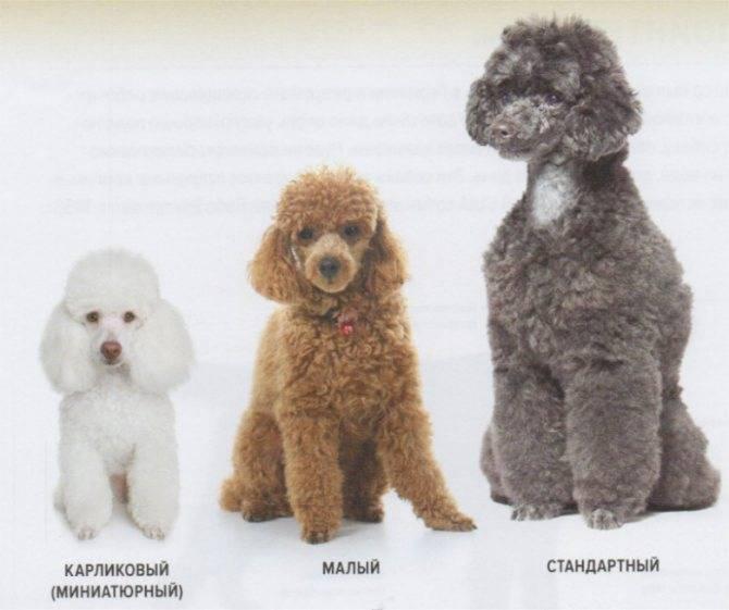 Той пудель – маленькая порода собак: описание внешности, фото, характер и поведение, условия содержания и правила ухода