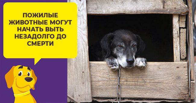 К чему воют собаки на улице утром. толкование поведения воющей собаки. почему воет собака - новая медицина