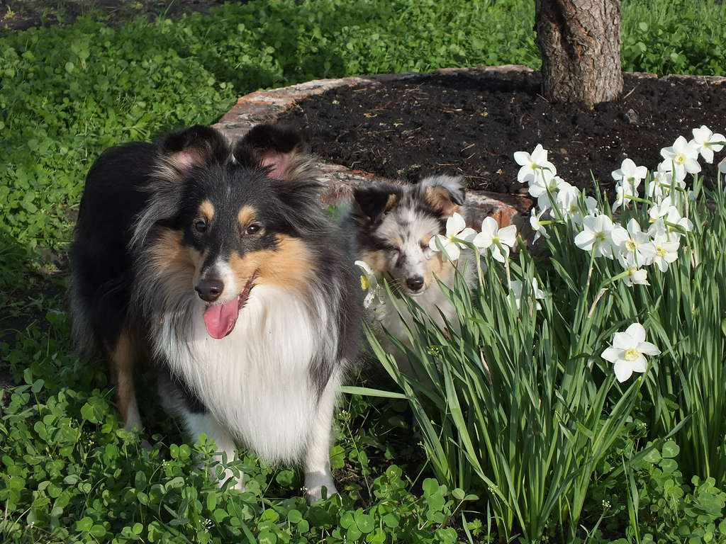 Шелти (собака): характеристика породы овчарок