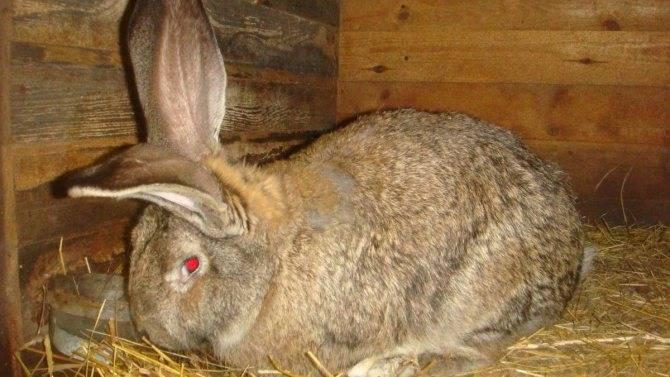 Почему крольчиха не подпускает крола — причины и что делать?