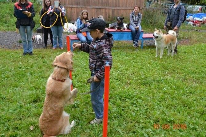 Дрессировка лабрадора: как тренировать собаку дома