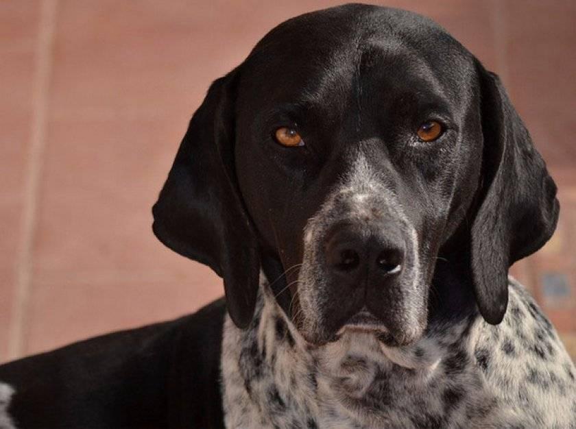 Пойнтер — описание породы и характер собаки