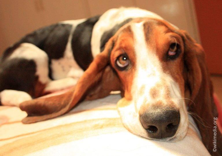 Бассет хаунд собака. описание, особенности, уход и цена бассет хаунда