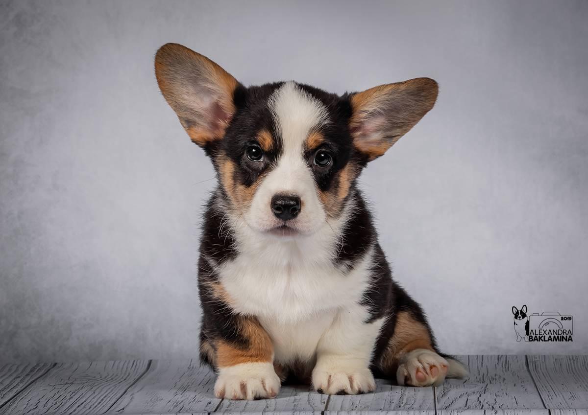 Описание породы и характер породы собак вельш корги кардиган