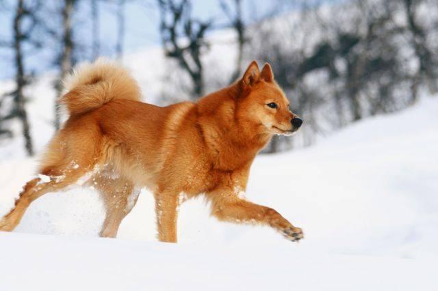 Карело-финская лайка: описание, характер, особенности, фото