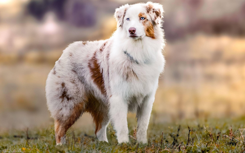 Австралийская овчарка - описание породы, уход и содержание, отзывы владельцев
