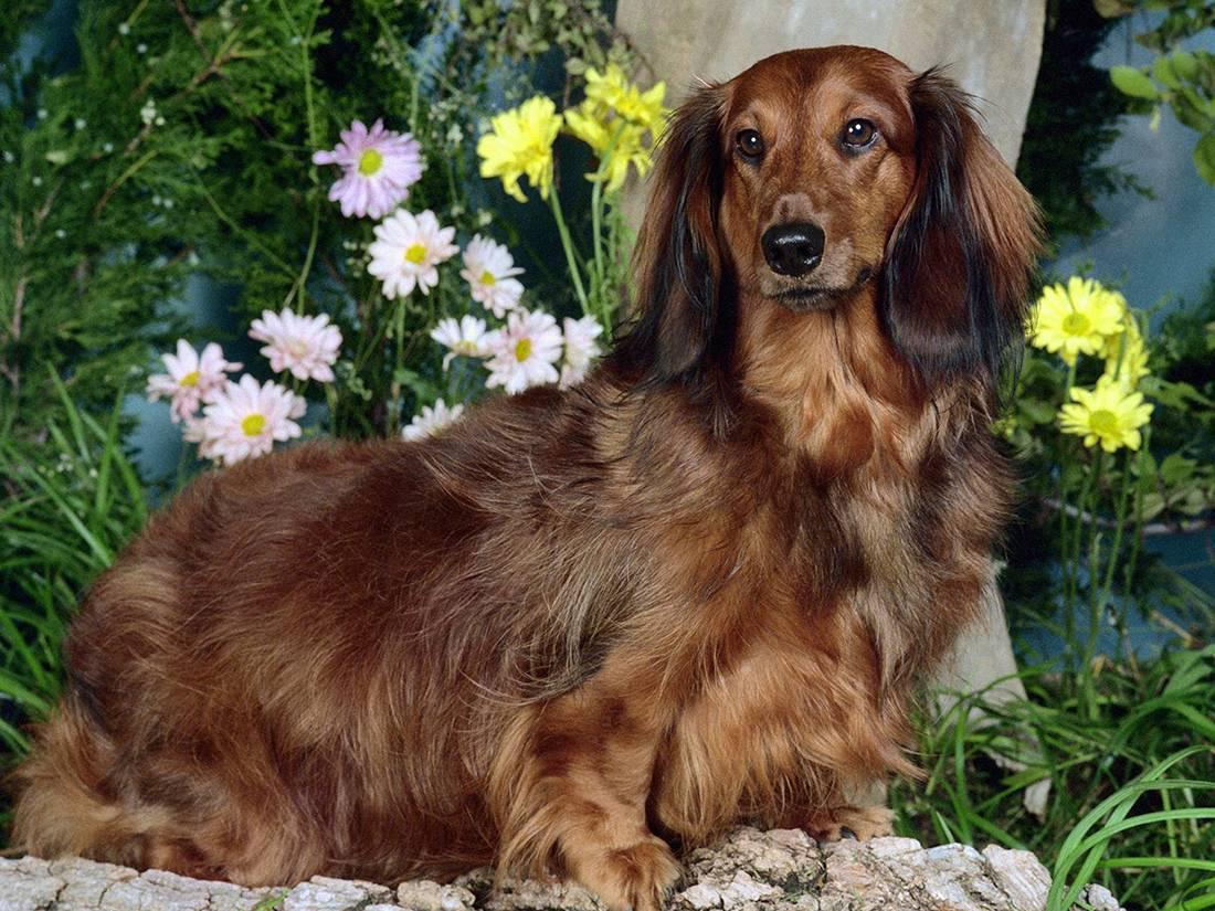 Кроличья такса: описание карликовой породы и характер собаки