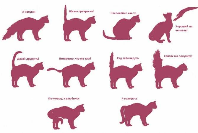 Почему кошка трясет хвостом: причины движения