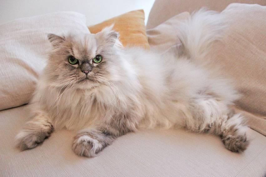 Серебристая шиншилла кошка: 90 фото, описание, стандарт, характер