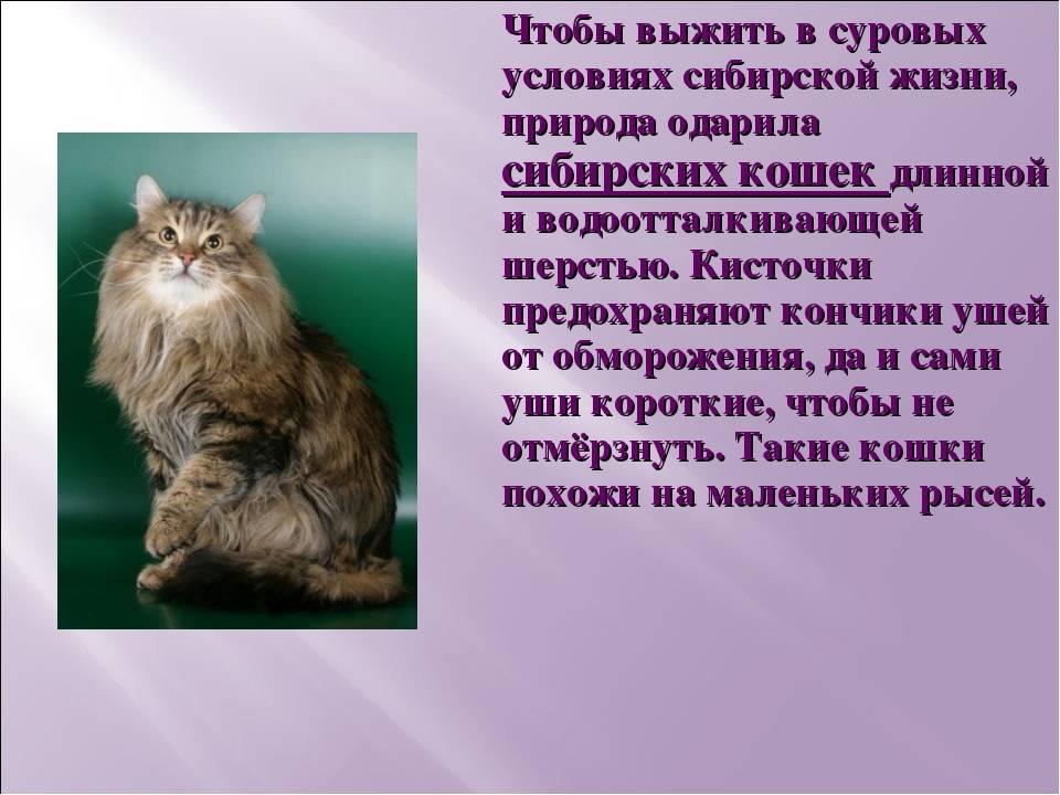 Невская маскарадная кошка - 97 фото и видео особого окраса породы