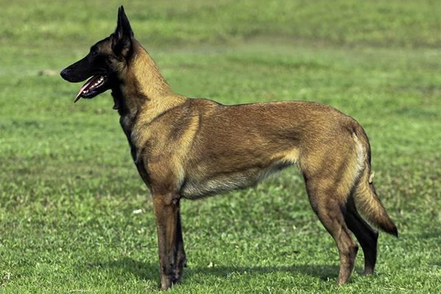 Бельгийская овчарка – энциклопедия о собаках