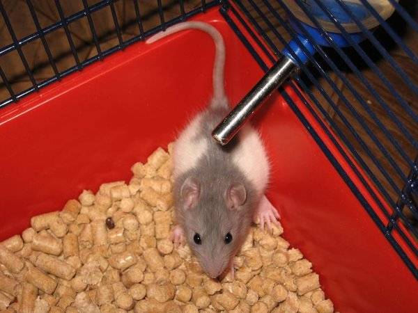 7 плюсов и 7 минусов домашних крыс