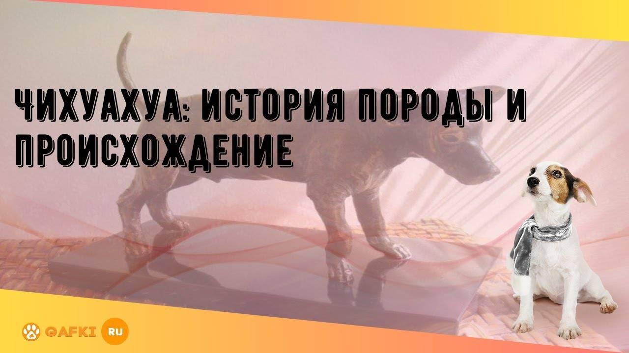 Основные сведения о собаках породы чихуахуа: происхождение, внешний вид, характер
