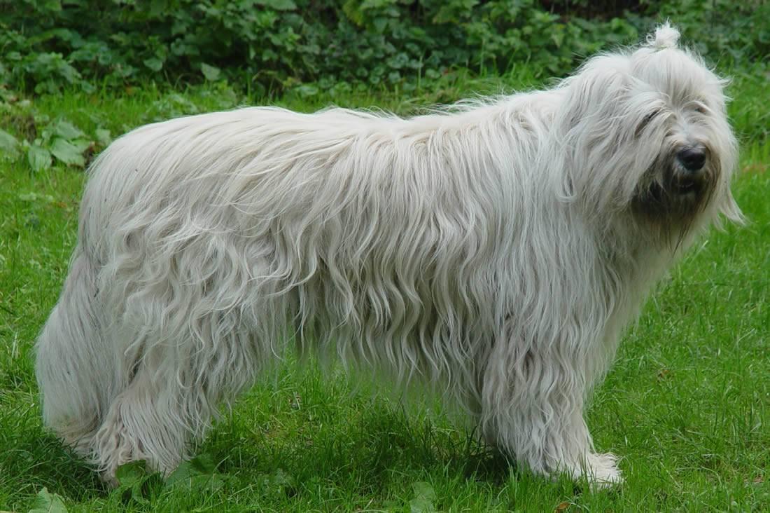 Описание породы собак южнорусская овчарка с отзывами владельцев и фото