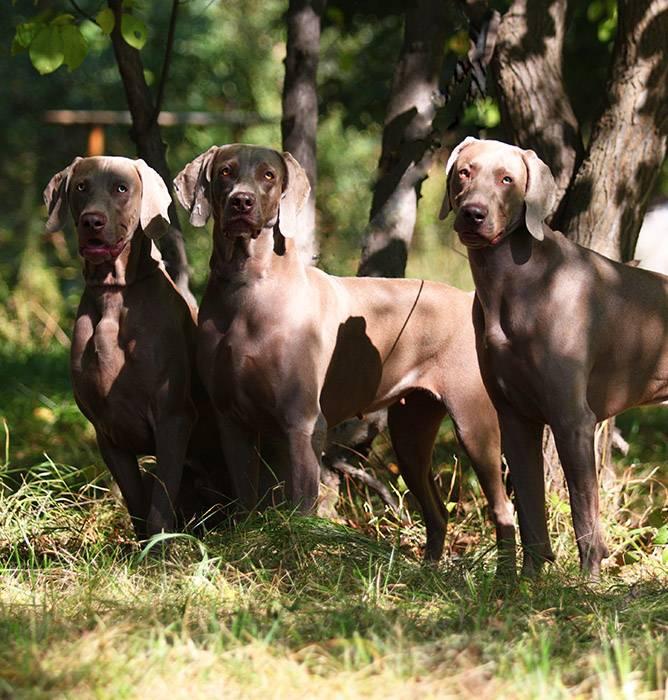 Описание породы собаки веймарской легавой, история породы, содержание щенка