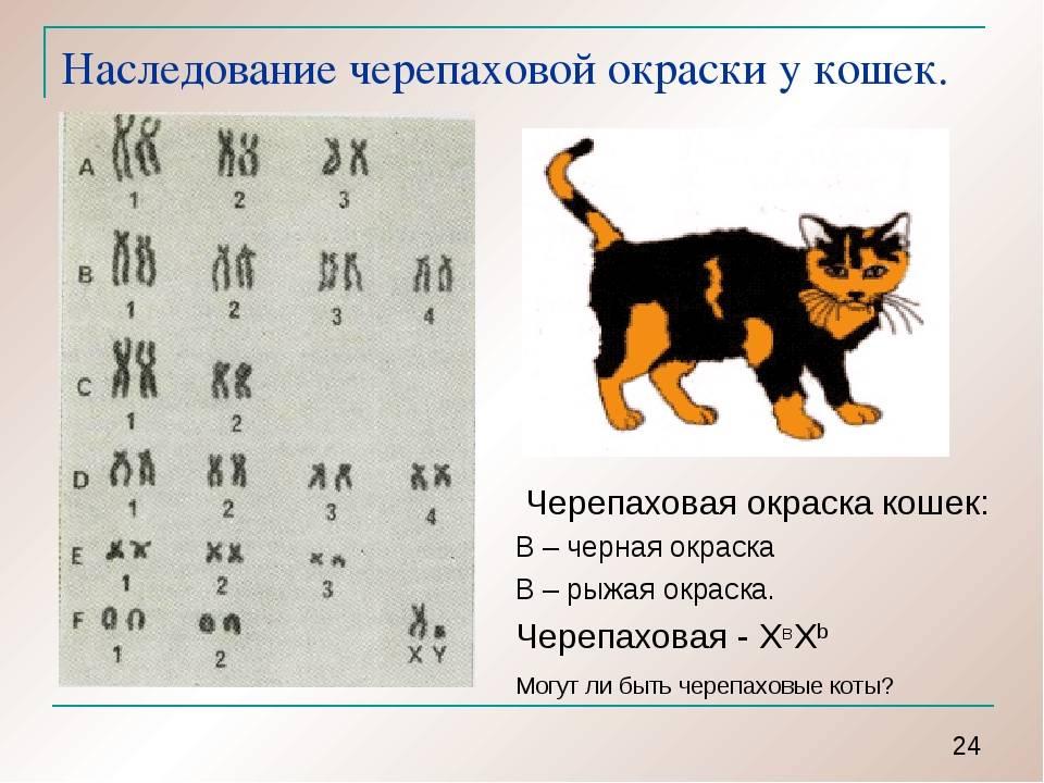 Сколько сосков у кошки, есть ли у котов