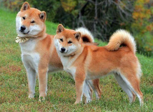 Акита-ину и сиба-ину: отличия, описание пород, характера, ухода