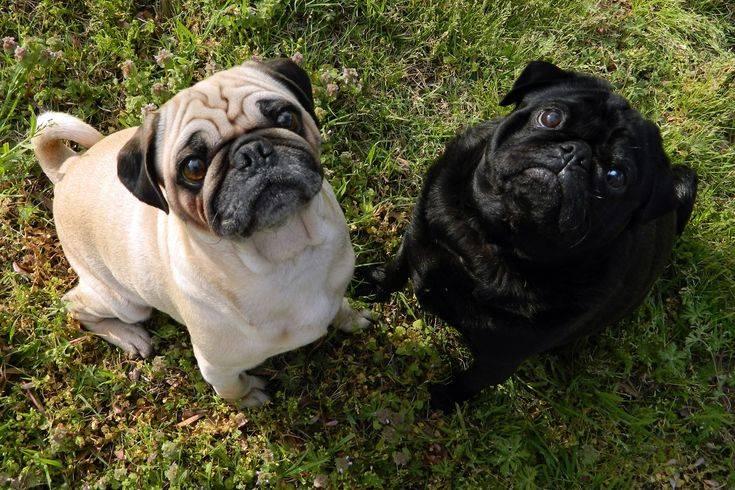 Отличия бостон-терьера и французского бульдога: характер собак и какую породу лучше выбрать
