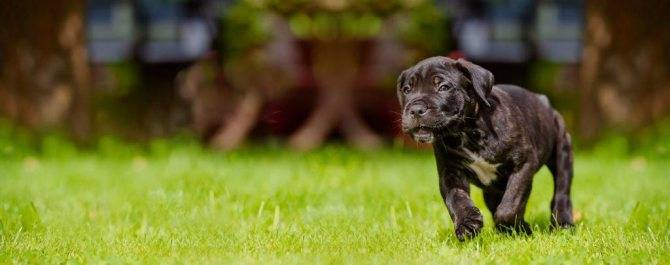 Кане-корсо: описание породы, цена, характер, поведение и заболевания собаки