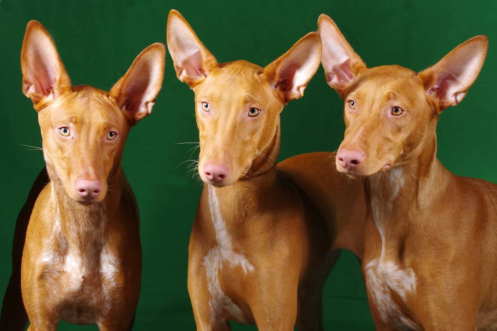 Фараоновая собака: фото, описание, характер, содержание, отзывы
