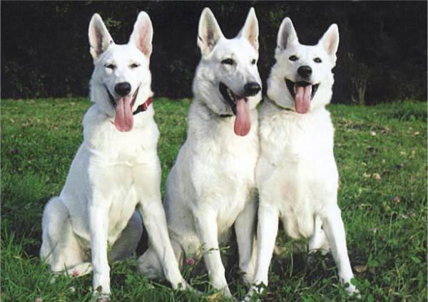 Топ крупных пород собак с белой шерстью