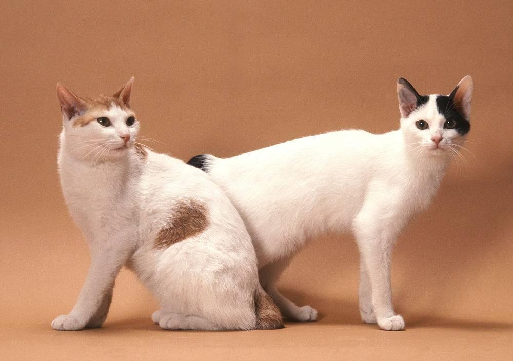 Японский бобтейл - фото породы, цена котенка, описание стандарта и характера