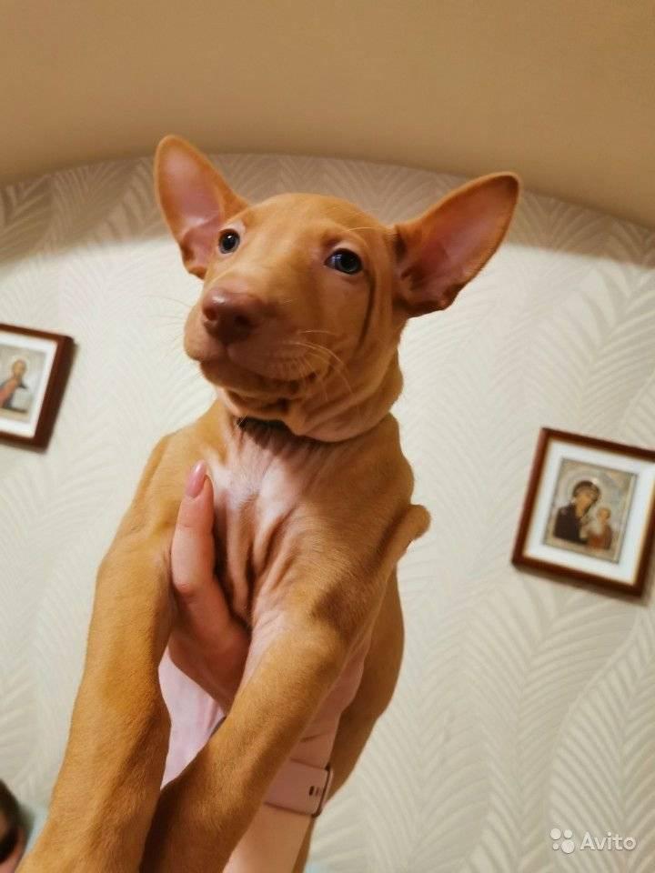Фараонова собака — самая древняя порода собак « николлетто