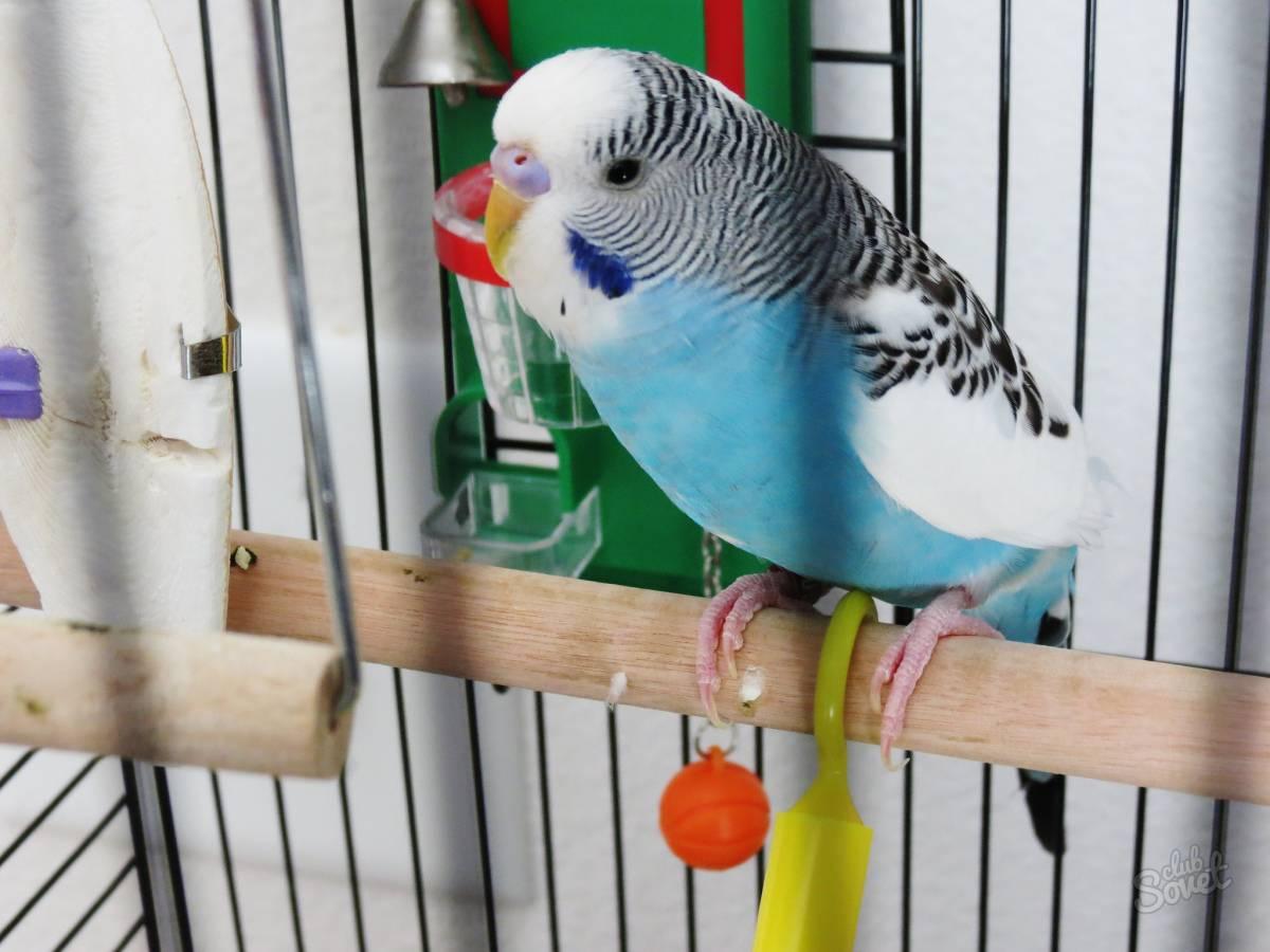 Как научить говорить волнистого попугая мальчика или девочку в домашних условиях