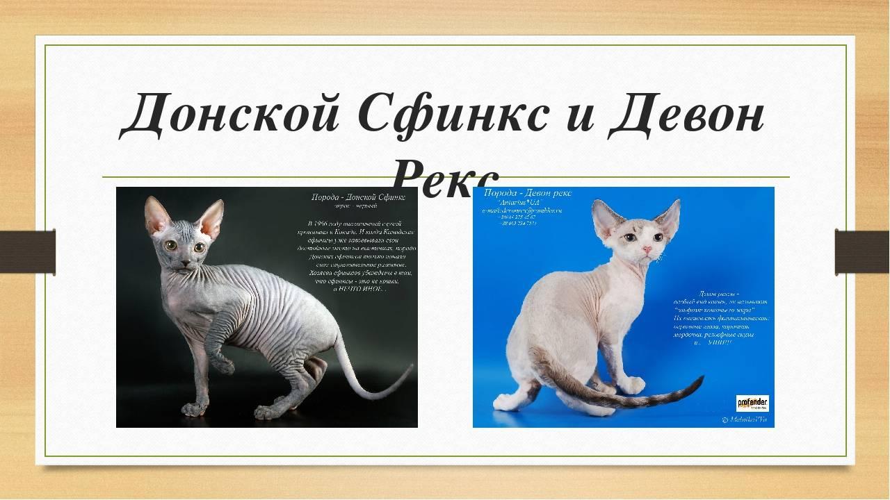 Характеристика и особенности кошки сфинкс