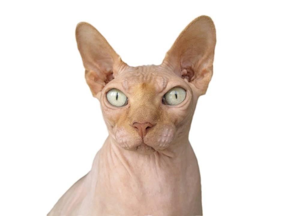 Сиамская кошка фото описание - все про домашних животных