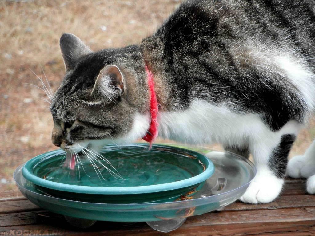 Что делать, если кот не пьёт воду вообще: вредно ли это