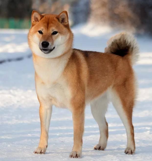 Порода собак акита-ину: особенности воспитания улыбчивого самурая