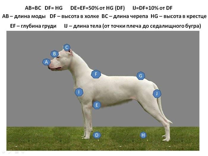 Как меряется рост собаки. местоположение холки у собаки и измерения. рост собак различных пород
