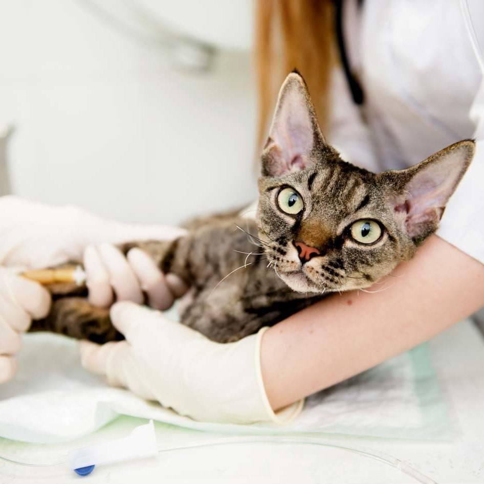 Панкреатит у кошек: симптомы, лечение, диета