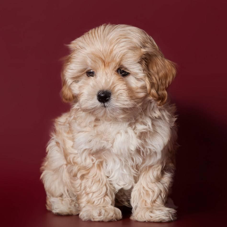 Миниатюрные породы собак с фото и подробным описанием