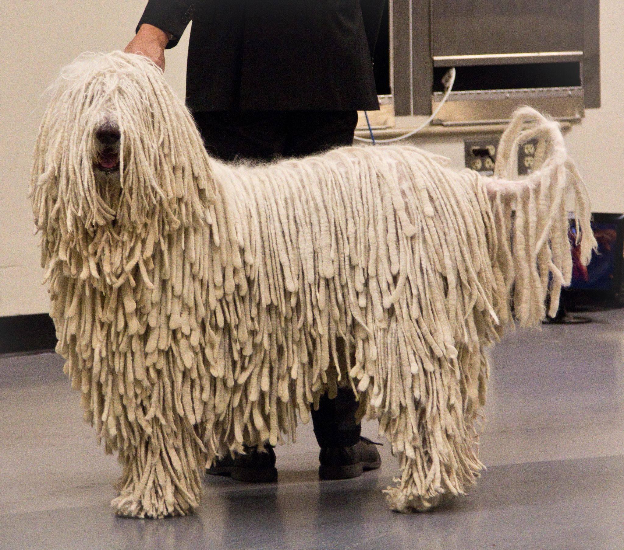Собака с дредами название породы