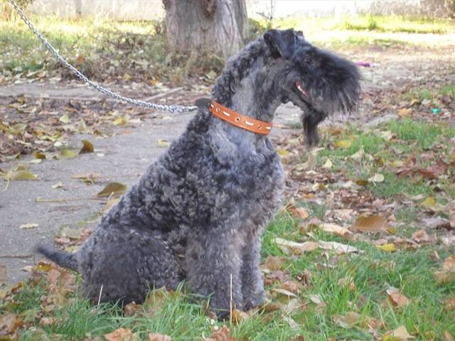 Характеристика керри блю терьеров: внешность и темперамент породы собак