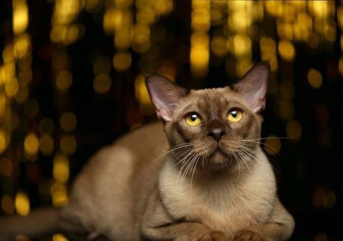 Характеристика породы и описание характера бурманской кошки