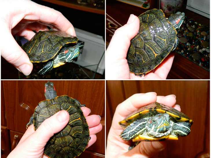 Сколько лет живут красноухие черепахи в домашних условиях