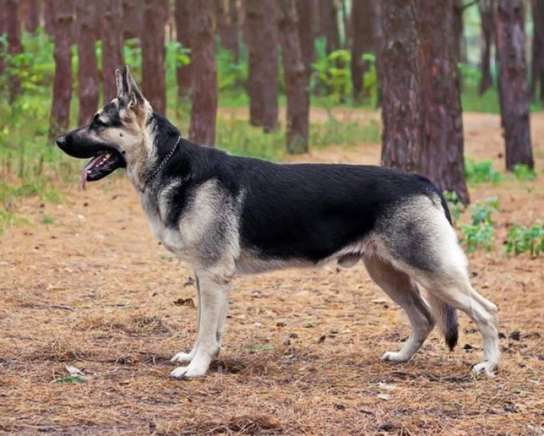 Все породы собак выведенные в россии