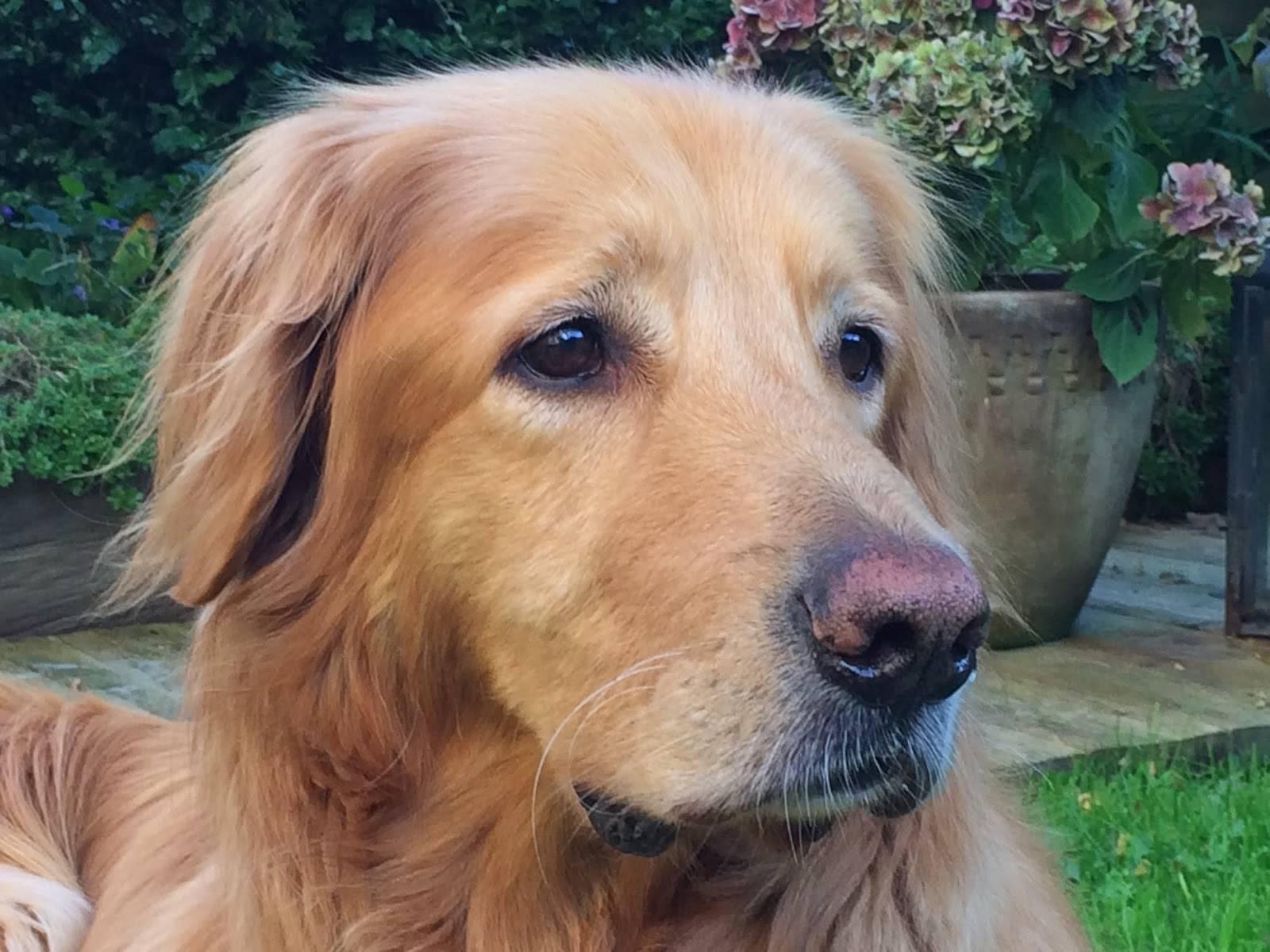 Описание породы собак золотистый ретривер с отзывами владельцев и фото
