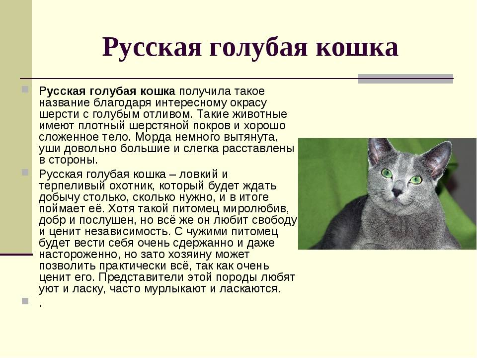Гавана браун - описание породы и характер кошки