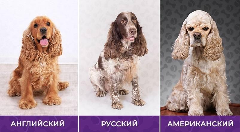 Описание породы кокер-спаниель, различия между американским и английским кокером, выбор щенка и его воспитание