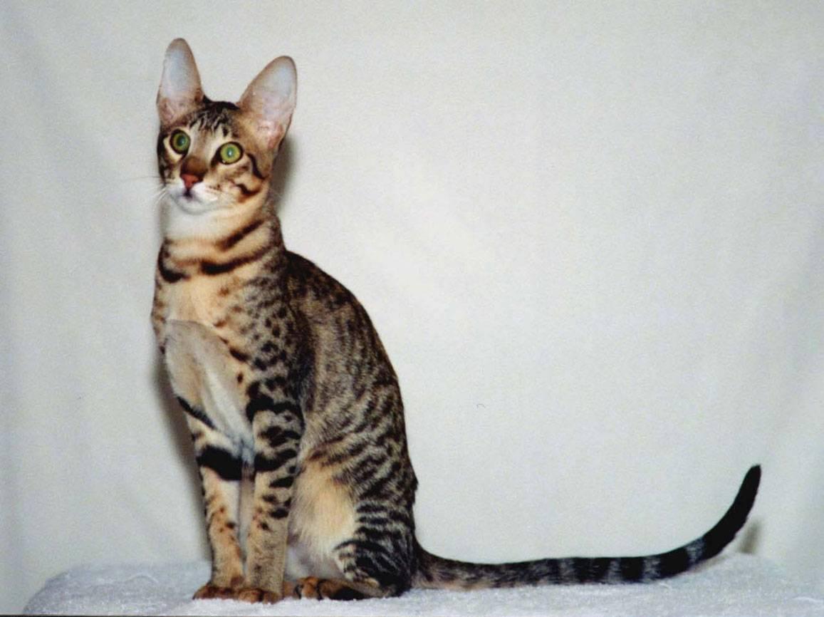 Серенгети (кошка): описание породы и характера